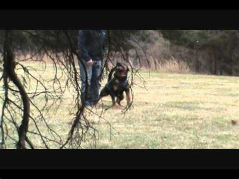 rottweiler schutzhund shutzhund or work rottweilers herding cows and in south dakota agility rocky hd