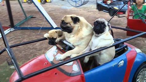are pugs family dogs this pug family taking a spin on the carousel will make your day
