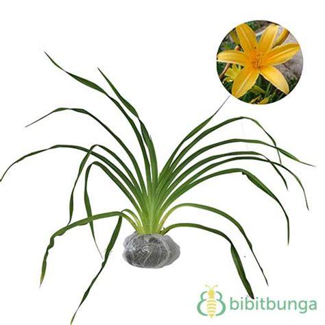 Tanaman Hias Bunga Daylily Kuning tanaman daylily kuning