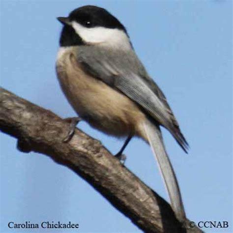 chickadees north american birds birds of north america