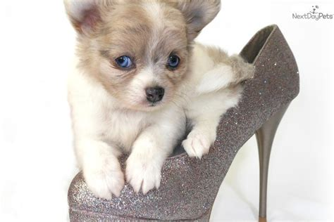 chihuahua puppies for sale in ma chihuahua puppy for sale near worcester central ma massachusetts c0f86471 8b91