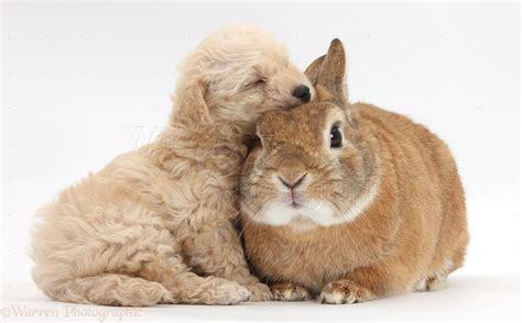 Pets: Cute Bichon x Yorkie pup sleeping on a rabbit photo ...