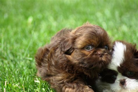 shih tzu puppy wallpaper brown puppy shih tzu wallpapers and images wallpapers pictures photos