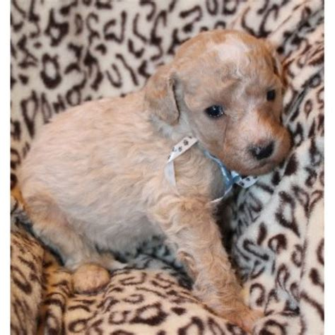 goldendoodle puppies wi mini goldendoodle puppies two rivers breeds picture