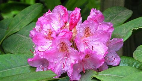 Schädlinge Im Rasen 3129 by Rhododendron Krankheiten Sch 228 Dlinge Rhododendren Sch