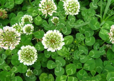 1 clover clover 1 1 lb white clover seeds lawn food plot bees same day