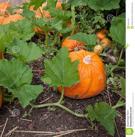when do i plant pumpkins for pumpkin plant with ripe pumpkins royalty free stock photos