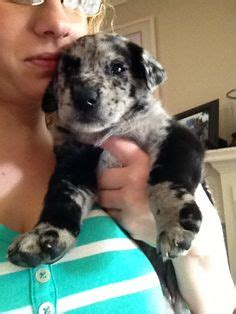 aussiedor puppies for sale quot chocolate aussiedor quot chocolate lab australian shepherd animals