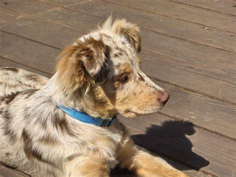 merle aussie puppy file australian shepherd puppy merle jpg wikimedia commons