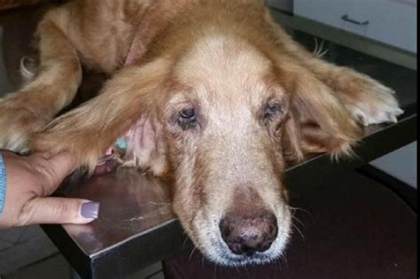 tumors in golden retrievers fundraiser by ivonne e acevedo fedora golden retriever with cancer