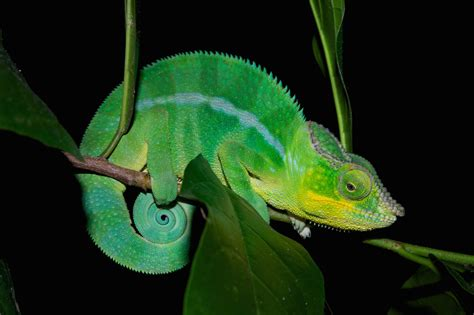 chameleon color change animals that can change color