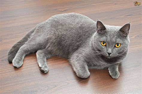 shorthair cat the difference between a and american shorthair