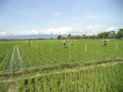 cara mengendalikan hama terpadu pada tanaman padi pengendalian hama terpadu