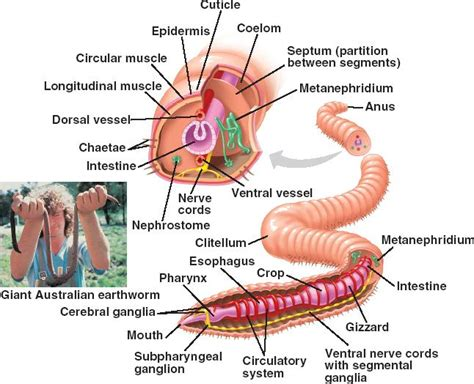 earthworm dissection phylum annelida image gallery oligochaeta diagram