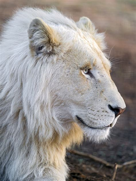 imagenes de leones viejos profile of a cute white lion this is a very nice white