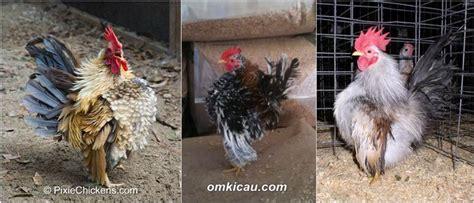 Anakan Ayam Serama merawat dan melatih anakan ayam serama agar siap kontes klub burung