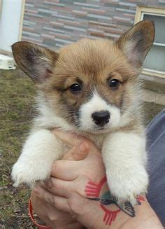 corgi puppies for sale chicago queensland heeler puppy dogs for sale in ventura county southern autumn