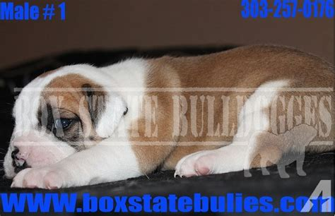 bulldog puppies colorado springs bulldog puppies available for sale in colorado springs colorado classified