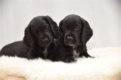 field spaniel puppies for sale field cocker spaniels puppies for sale stowmarket suffolk pets4homes