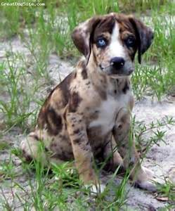 Everything top dog catahoula leopard