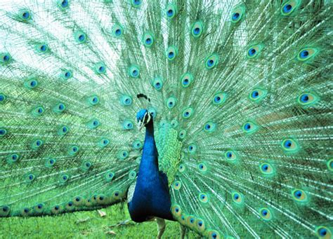 Peacock L by Mrbarthscience Peacock L
