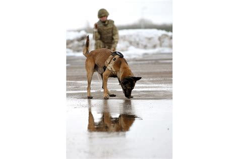 army handler working dogs deploy to afghanistan gov uk