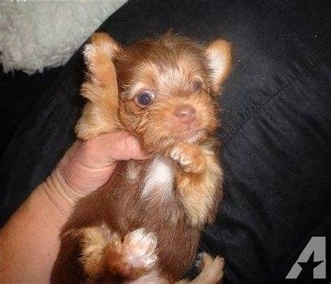 yorkie puppies orlando yorkie puppies blk s also parti golden and chocolate for sale in orlando