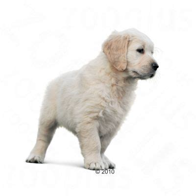 royal canin golden retriever junior royal canin breed golden retriever 29 junior tanio w zooplus