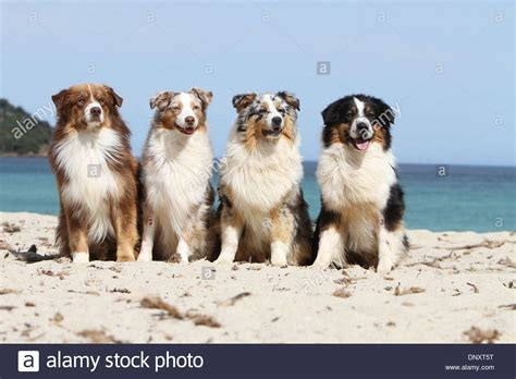 australian shepherd colors australian shepherd aussie four adults different