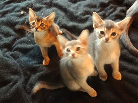 abyssinian kittens for sale abyssinian kittens for sale york