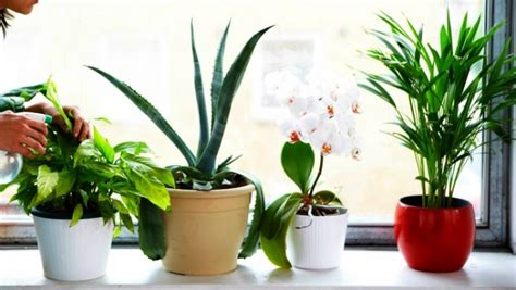 best houseplants the 6 best houseplants for clean air indoors countryside