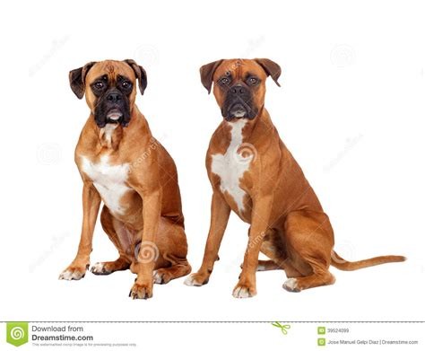 sam e for dogs two dogs of the same breed sitting stock photo image 39524099