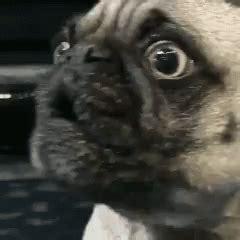 snl pug pug suprise gif pug suprise sad gifs say more with tenor