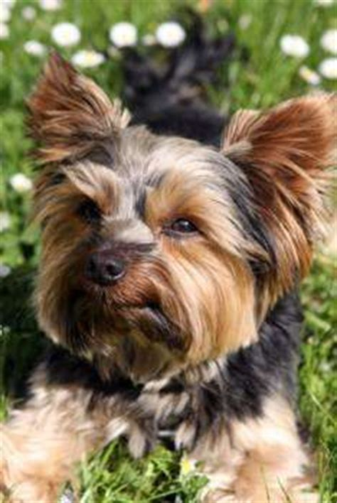 yorkie hypoglycemia symptoms yorkie health problems terrier information center
