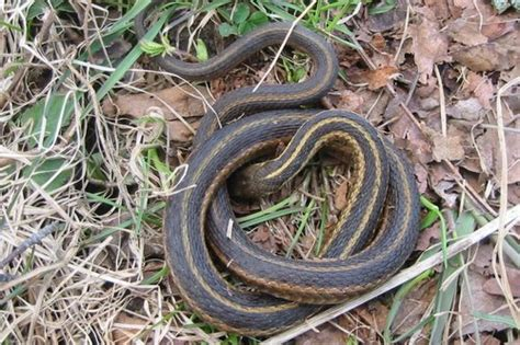 Garden Snake Pa Ellens Traveling Reptiles Guides Gt Pasnakes Browse