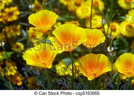 Yellow Ca Lookup Stock Images Of Yellow California Poppy Flower Isolated Of A Yellow