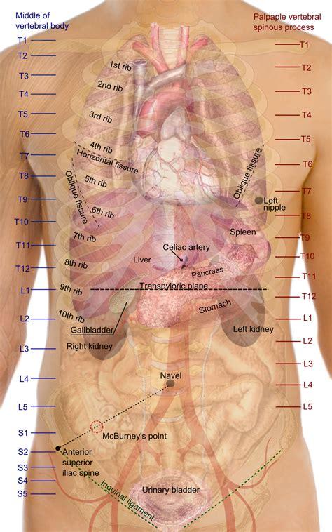 organ anatomy surface anatomy