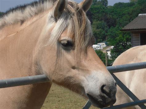 fjord horse for sale uk norwegian fjord horses guildford surrey pets4homes