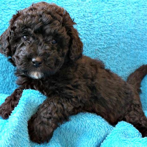 australian doodle puppies for sale ontario mini australian puppies for adoption breeds picture