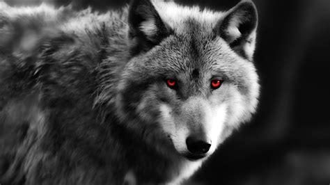 imagenes full hd de lobos lobo close up olhos vermelhos predador pap 233 is de parede
