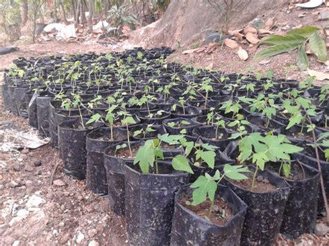 Bibit Buah Naga Madiun wisata dan edukasi waras farm