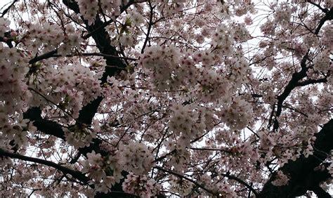cherry tree 2015 2015 uw cherry tree bloom by march 14 uw news