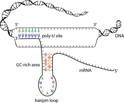 termination diagram biobook leaf how do cells terminate the process of