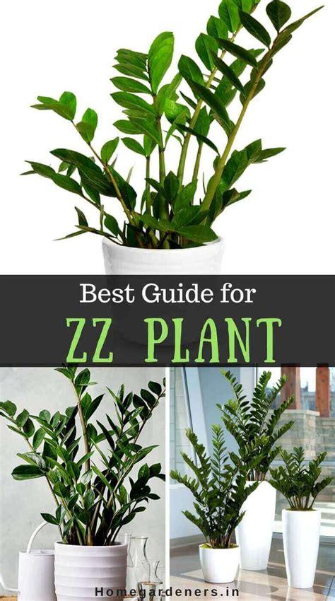 zz plant care  guide  zanzibar gem plant home