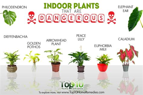 indoor house plants 10 indoor plants that are poisonous and dangerous top 10
