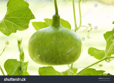 tree with gourd like fruit bottle gourd calabash gourd flowered gourd white