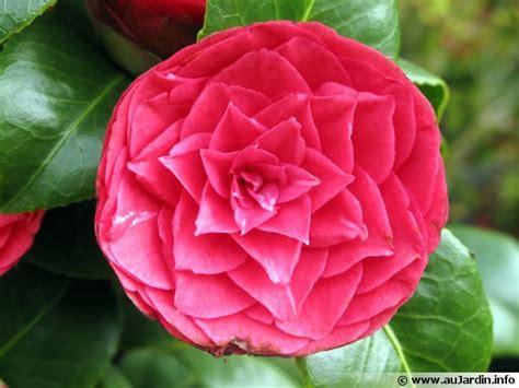 Fleurs Qui Resistent Au Vent by 233 Lia Camellia Planter Cultiver Multiplier