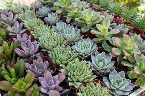 Fairy Home Decor 2 quot wedding succulents wedding succulent favors for sale