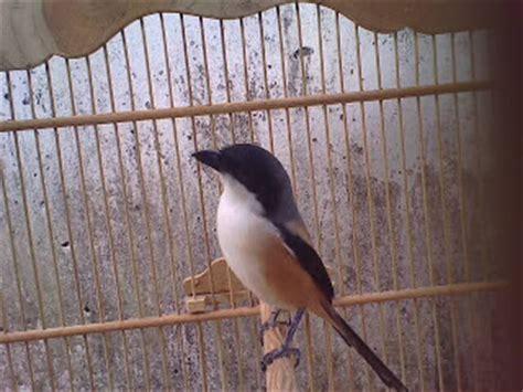 Skrup Burung Setengah Bulat No 8 menghilangkan cendet salto salto info burung