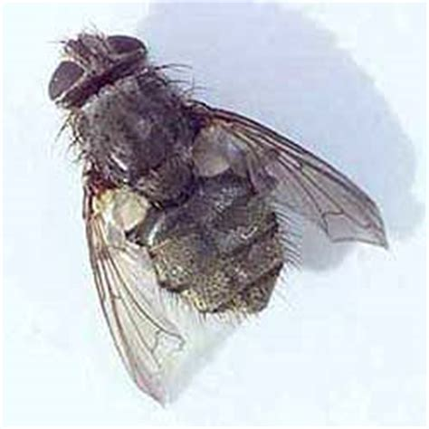 Cluster Flies In Kitchen what are cluster flies pest services inc
